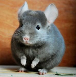 龙猫是老鼠吗?